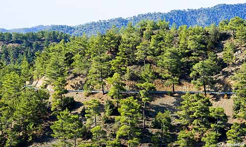 B 177 AFDC Forest Troodos Mountains2 lrg